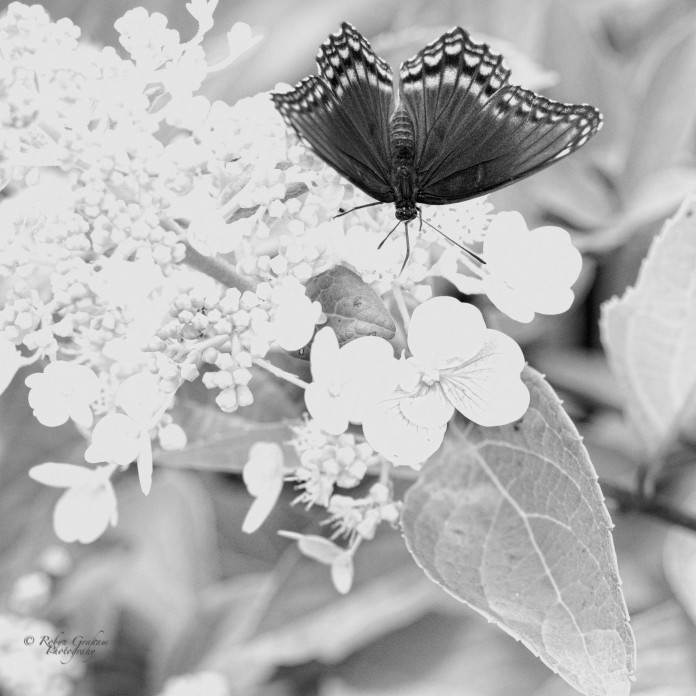 Butterflies and Hydrangeas III