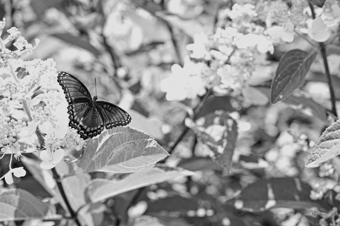 Butterflies and Hydrangeas II