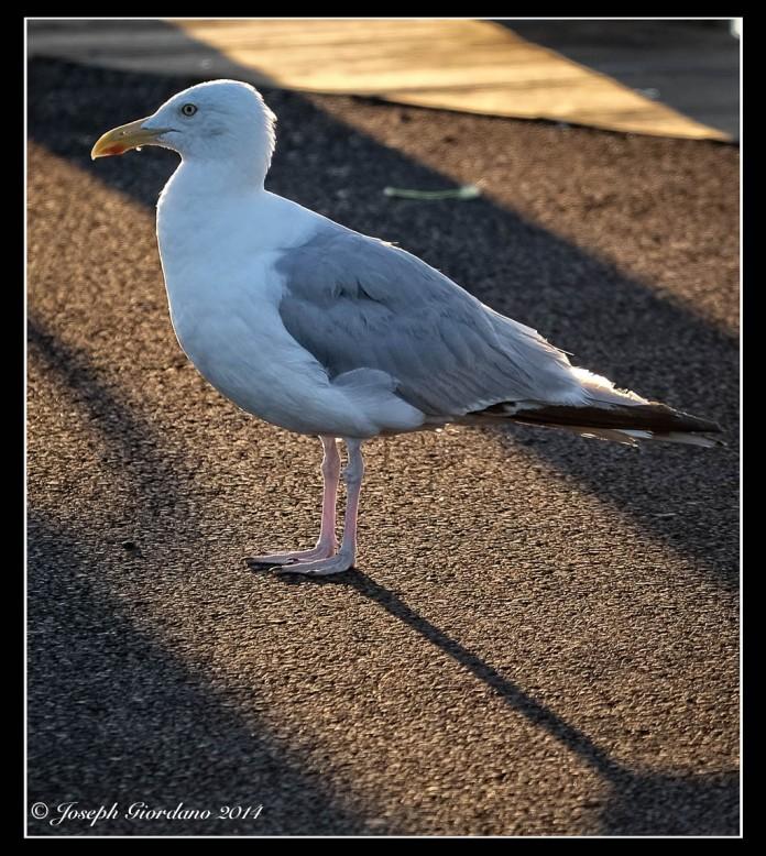 GullShadow