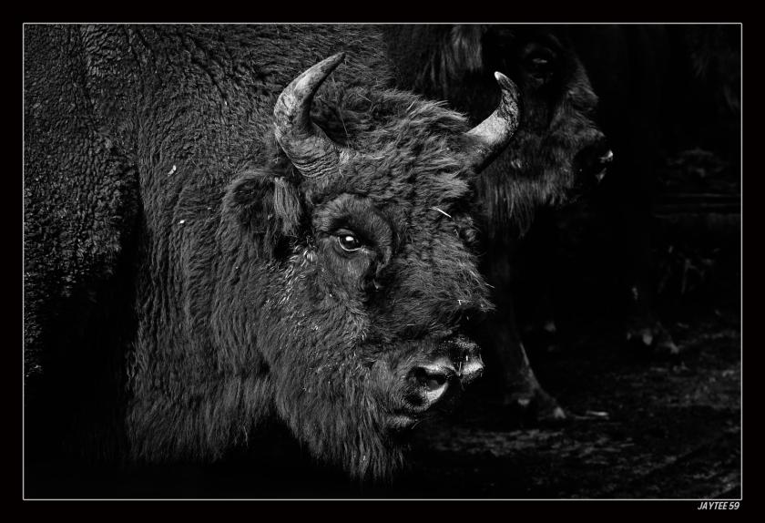 bison4_jaytee59_15